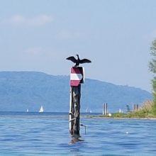 Für ein Kormoran-Management am See